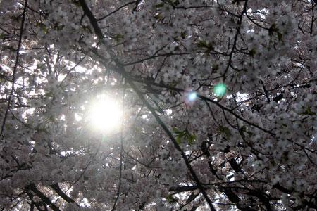 桜花満開!