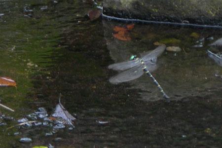 オニヤンマが池に卵を産み付けています