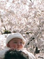 僕の頭から眺める桜