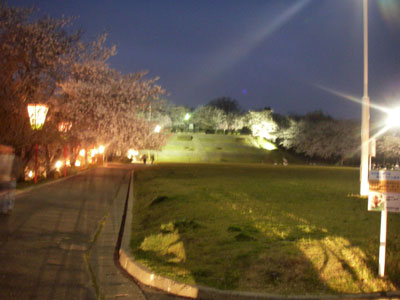 舞鶴山の夜桜