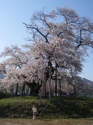 山口奨学桜