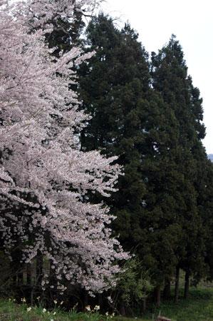 桜吹雪が奇麗です