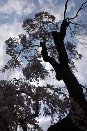 滝桜の下から。
