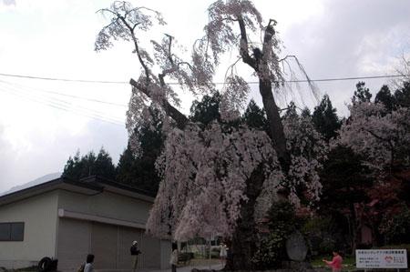白兎の滝桜