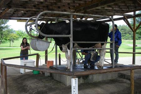 牛の乳搾り挑戦します!
