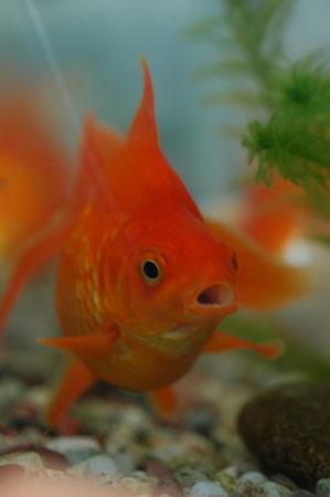 実家の金魚