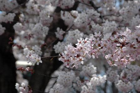 大山桜にソメイヨシノ