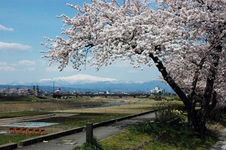 桜、月山、馬見ヶ崎川