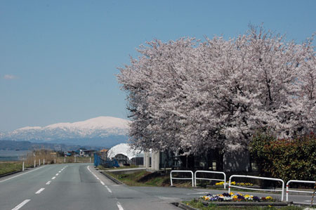 月山に桜の壁