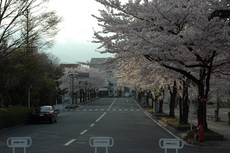 霞城公園入り口。満開ですね♪