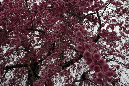 実家のしだれ桜