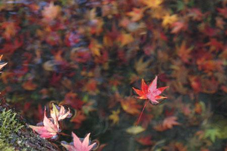 学舎の裏にある貯水池に流れる紅葉