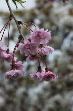 舞鶴公園のしだれ桜