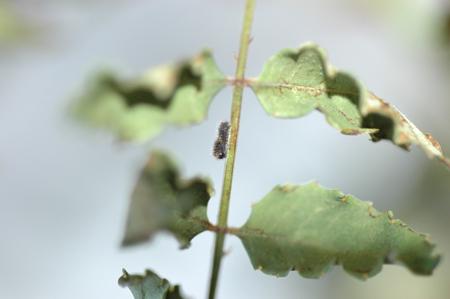 二日目のアゲハの幼虫