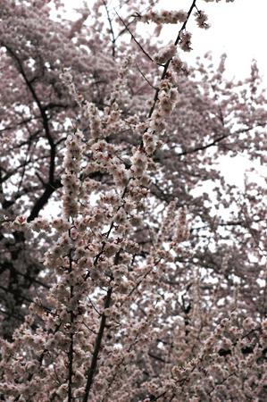 梅と桜が満開