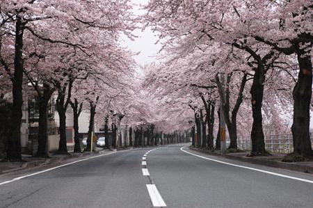 馬見ヶ崎の桜並木
