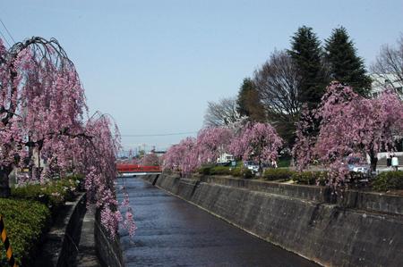 川沿いに咲くしだれ桜が見頃