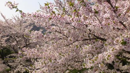 隣の市役所にある桜も満開