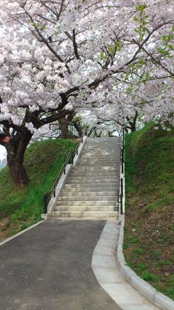 桜に囲まれた階段