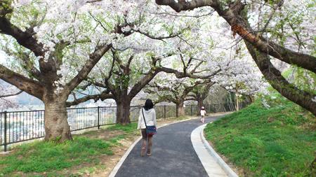 桜のトンネル!しかも低い!!
