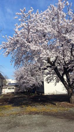 子供が通う小学校の桜