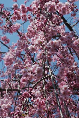 しだれ桜ほぼ満開