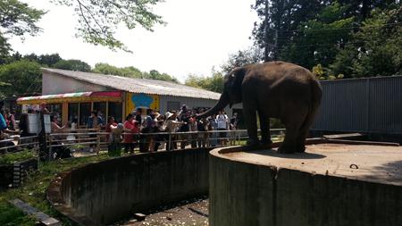 飼育員が入ると、こんなに簡単に象に餌を与える事ができます。